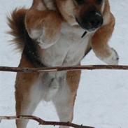 Blanding af racer <3Bamse hunden Odin <3