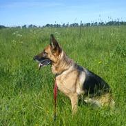Schæferhund Quality