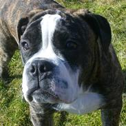 Olde english bulldogge Kingston