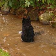 Skotsk terrier Dina *død*