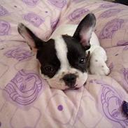Fransk bulldog Hailie *Død*