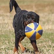 Rottweiler  Rex *26-4* - *22-8 06*
