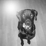 Labrador retriever Baloo