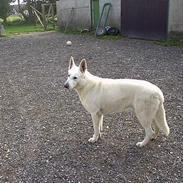Hvid schæfer Lucky (titte's bambi)