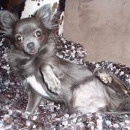 Chihuahua Bluebell