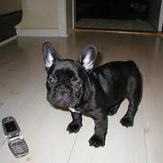Fransk bulldog Holger