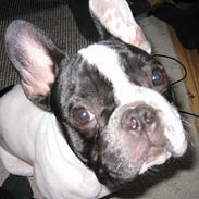 Fransk bulldog Budda