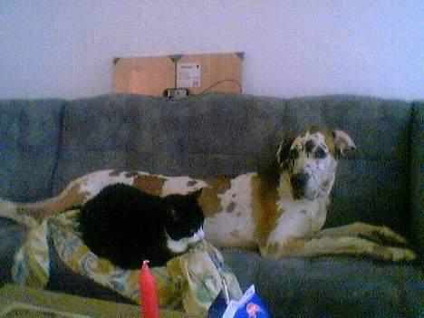 Grand danois plet - vi glemmer dig aldrig jacob millioner hundemøsser til dig i missehimlen..din plet billede 4