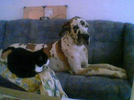 Grand danois plet - jeg er 3hund jacob har levet sammen med så han var halv hund billede 5
