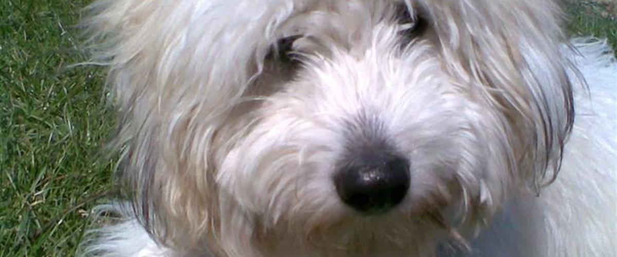 Coton de tulear Charlie - 2007 - En hvid bomuldshund/Coton de ...