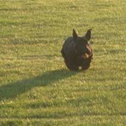 Skotsk terrier Dafne