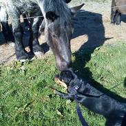 Blanding af racer Hunden ( rotte/cc )