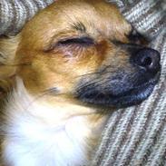 Chihuahua Coco