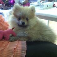 Pomeranian Pinkie