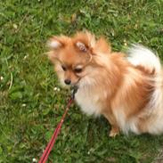 Pomeranian Chao Chao