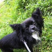 Chihuahua Magnus.