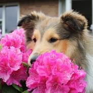 Shetland sheepdog Oscar aka. Vaps
