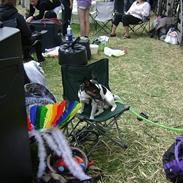 Jack russell terrier Ollie