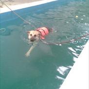 Schæferhund Kenzo