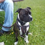 Staffordshire bull terrier Staff Royals Good Chanel