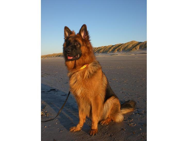 1040077-schaeferhund-sacko