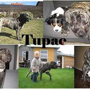 Boerboel tupac