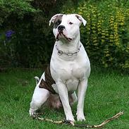 Amerikansk bulldog Erikssons Cassius Clay,