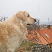 Golden retriever Golden Djima Arki Armani