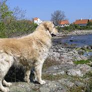 Golden retriever Golden Djima Arki Armani