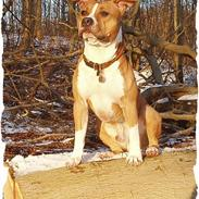Amerikansk staffordshire terrier KWV's Ice Flame