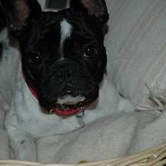 Fransk bulldog Alberte (Bobine's Tammi)