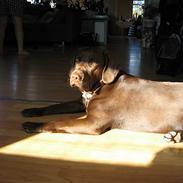 Labrador retriever *A. Ziggi*