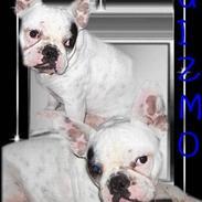 Fransk bulldog Gizmo * i hundehimlen*