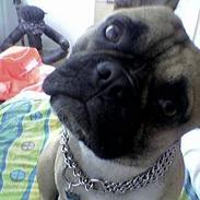 Fransk bulldog Hansi