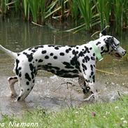 Dalmatiner Alba