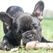 Fransk bulldog Holleufer's Kingston