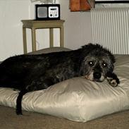 Irsk ulvehund Credo
