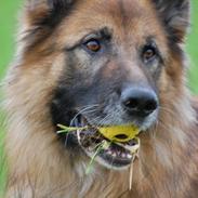 Schæferhund Tasso