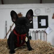 Fransk bulldog Nanna