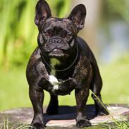 Fransk bulldog Tira