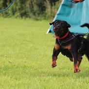Rottweiler Kakestto's Fibie (05/05-10 - 03/09-14)