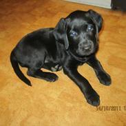 Labrador retriever Siggi * Formel 1 *