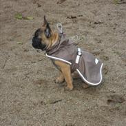 Fransk bulldog Bjeldbaks Amdi <3Bell <3