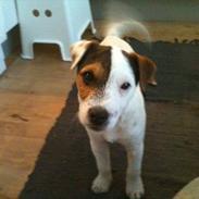 Jack russell terrier Tjalfe.