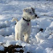 Jack russell terrier Kokos