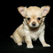 Chihuahua Louiiiis