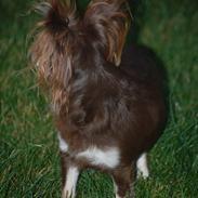 Chihuahua Ravns Begonie ~ Brusse