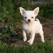 Chihuahua Honey Paj´s Yvain Yuzzlebug