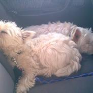 West highland white terrier Wagger (bor hos mor og far)