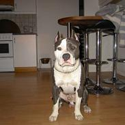 Amerikansk staffordshire terrier Isaac ( R.I.P )